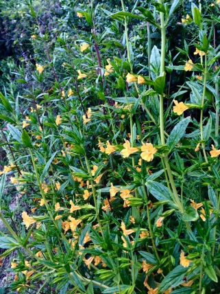 Sticky Monkey Flower. CA native plant.
